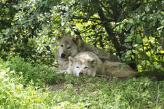 Wolves. Under a tree in the shade royalty free stock photo