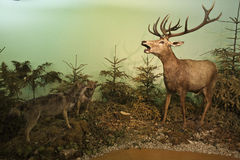 Wolves vs. deer Royalty Free Stock Image