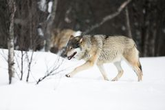 Wolves walking in the cold forest Stock Photos