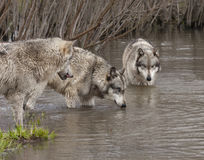 Wolves at Watering Hole Stock Image