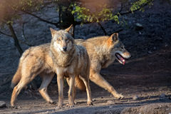 Wolves in the wild Royalty Free Stock Photos