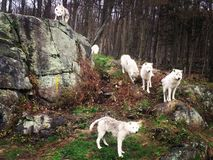 Wolves. Wild wolves at parc omega - canada stock image