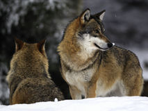 Wolves in winter. Two beautiful wolves in winter in Bavarian forest stock photo