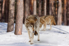 Wolves in  winter  forest Royalty Free Stock Photos