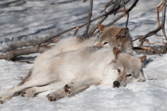 Wolves. Wolf resting in the sun on a winter day Royalty Free Stock Photo