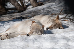 Wolves. Wolf resting in the sun on a winter day Stock Photo
