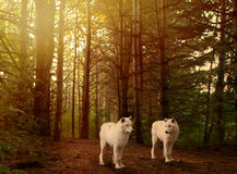 Wolves in woods. Two beautiful grey wolves in a forest depiction royalty free stock photo