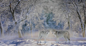 Wolves of Yellowstone. Two wolves stand in a snow-covered stand of trees in Yellowstone National Park, Montana, USA royalty free stock image