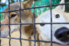Wolves in the zoo cage Royalty Free Stock Photography