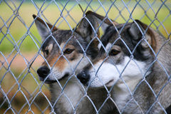 Wolves at a zoo Stock Photo