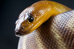 Woma Royalty Free Stock Image