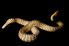 Woma python Royalty Free Stock Image