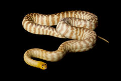 Woma python Royalty Free Stock Photos