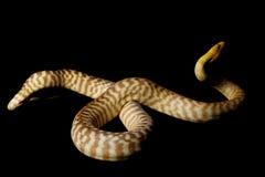 Woma Pythonschlange Lizenzfreies Stockbild