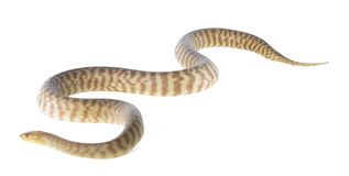 Woma-Pythonschlange lizenzfreies stockbild