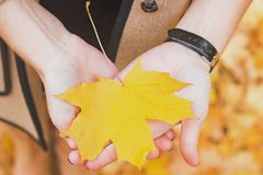 Woma`s hands holding yellow maple leaf. Close-up stock images
