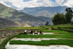 Womaen che raccoglie riso nel Bhutan Fotografia Stock Libera da Diritti