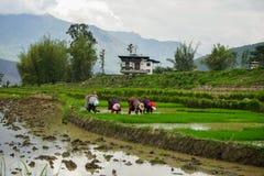 Womaen che raccoglie riso nel Bhutan Fotografia Stock