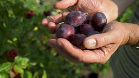 Woman's hands filed with ecological mature Hungarian plum. In the glare of the afternoon sun stock video footage