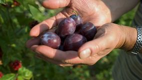 Woman's hands filed with ecological mature Hungarian plum. In the glare of the afternoon sun stock video