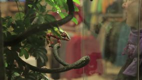 Girl in the zoo looks at the chameleon. A woman admires a chameleon who sits on a branch in the terrarium stock video