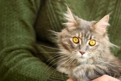 Woman with adorable Maine Coon cat, closeup royalty free stock image