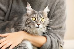 Woman with adorable Maine Coon cat, closeup royalty free stock images