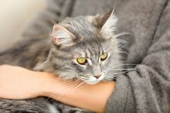 Woman with adorable Maine Coon cat, closeup. stock image