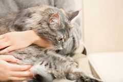 Woman with adorable Maine Coon cat at home, closeup royalty free stock photo