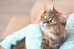 Woman with adorable Maine Coon cat at home, closeup. Space for text stock photo
