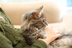 Woman with adorable Maine Coon cat at home royalty free stock photo