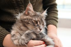 Woman with adorable Maine Coon cat at home stock image