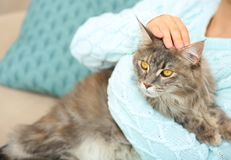 Woman with adorable Maine Coon cat at home royalty free stock photos