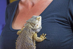 Woman with Agama lizard on her chest Stock Photo