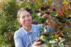Woman aged near chokeberry bush Royalty Free Stock Photography