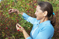 Woman aged near rose bush Stock Image