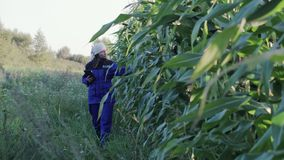 Woman agronomist in overalls with an electronic tablet in her hands passes a corn plantation. The concept of stock video