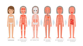 Woman Anatomy System and Structure of Human Body. On white background. Vector illustration of muscular, blood nervous, digestive scheme and skeleton of female Stock Photo