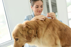 Woman applying tick prevention to her dog Royalty Free Stock Photo
