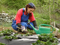 Woman arrange strawberry seedlings in the field. Rural attractive brunette woman in work clothes (coveralls) arrange strawberry seedlings in the field Royalty Free Stock Images
