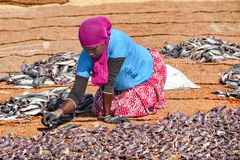 Woman arranging fish for drying. Stock Photography