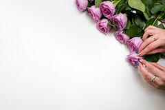Pink roses white background flower delivery. Woman arranging pink roses on white background. Flower delivery. Only fresh and firm buds will be chosen for a Royalty Free Stock Images