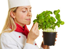 Woman as chef cook smelling basil herbs. Woman as chef cook smelling on a pot of fresh basil herbs Royalty Free Stock Image