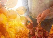 Woman in Autumn with basket of apples and leaves. Digital composite of Woman in Autumn with basket of apples and leaves stock photography