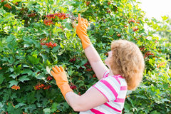 Woman in the autumn harvests viburnum Royalty Free Stock Images