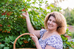Woman in the autumn harvests viburnum Stock Images