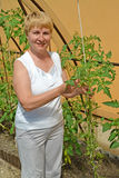 The woman of average years with plants of tomatoes in the greenhouse Stock Photo