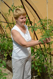 The woman of average years tears off stepsons of tomatoes in the greenhouse Royalty Free Stock Images