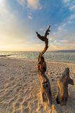 Woman on the beach at sunset. Woman resting on skeletal tree and watching a romantic colorful sunset on the beach of Tanjun Karang, Central Sulawesi, Indonesia Royalty Free Stock Image