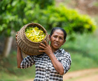 The woman bears a basket with the Ylang-ylang. MADAGASCAR, NOSY BE - DECEMBER 6, 2014: The woman bears a basket with the Ylang-ylang Royalty Free Stock Image